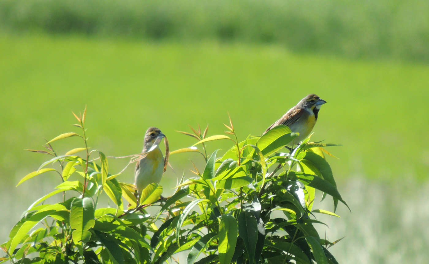 A pair of dickcissels; photo by Andy McGivern