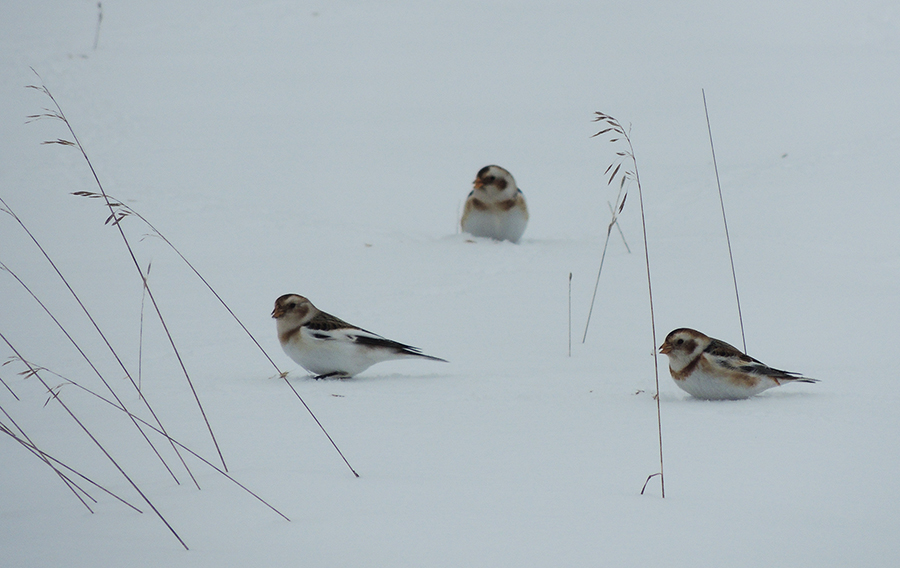 Three snow buntings; photo by Andy McGivern
