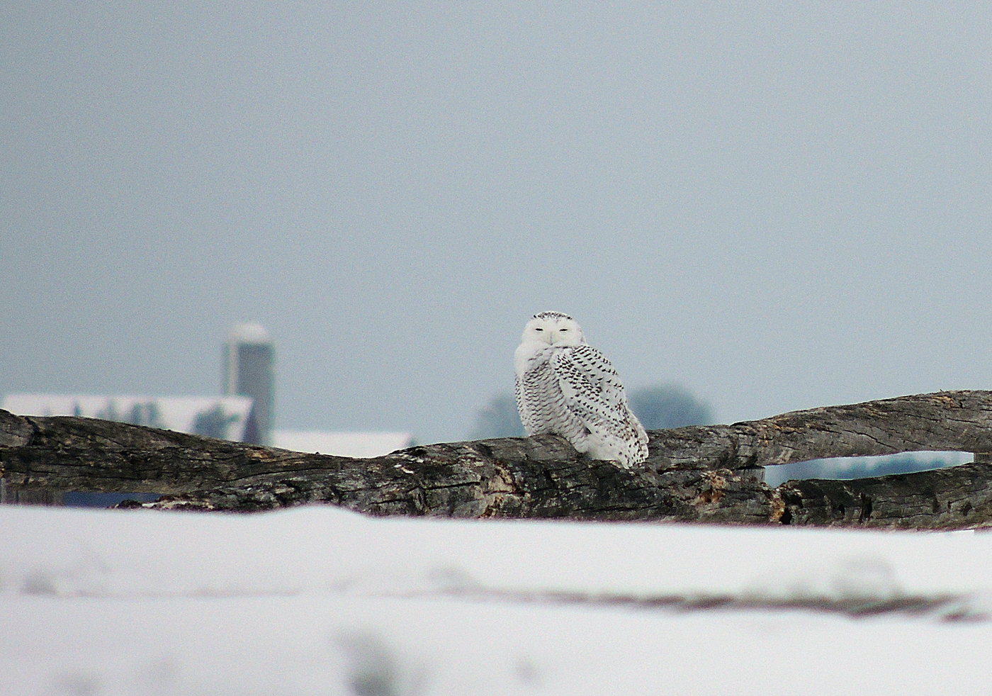 A snowy owl; photo by Andy McGivern