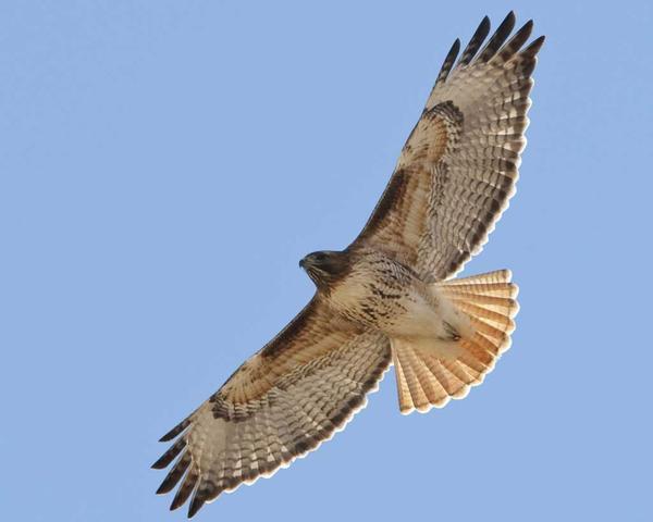 blogRed-tailedHawk