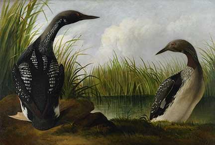 audubon-loon