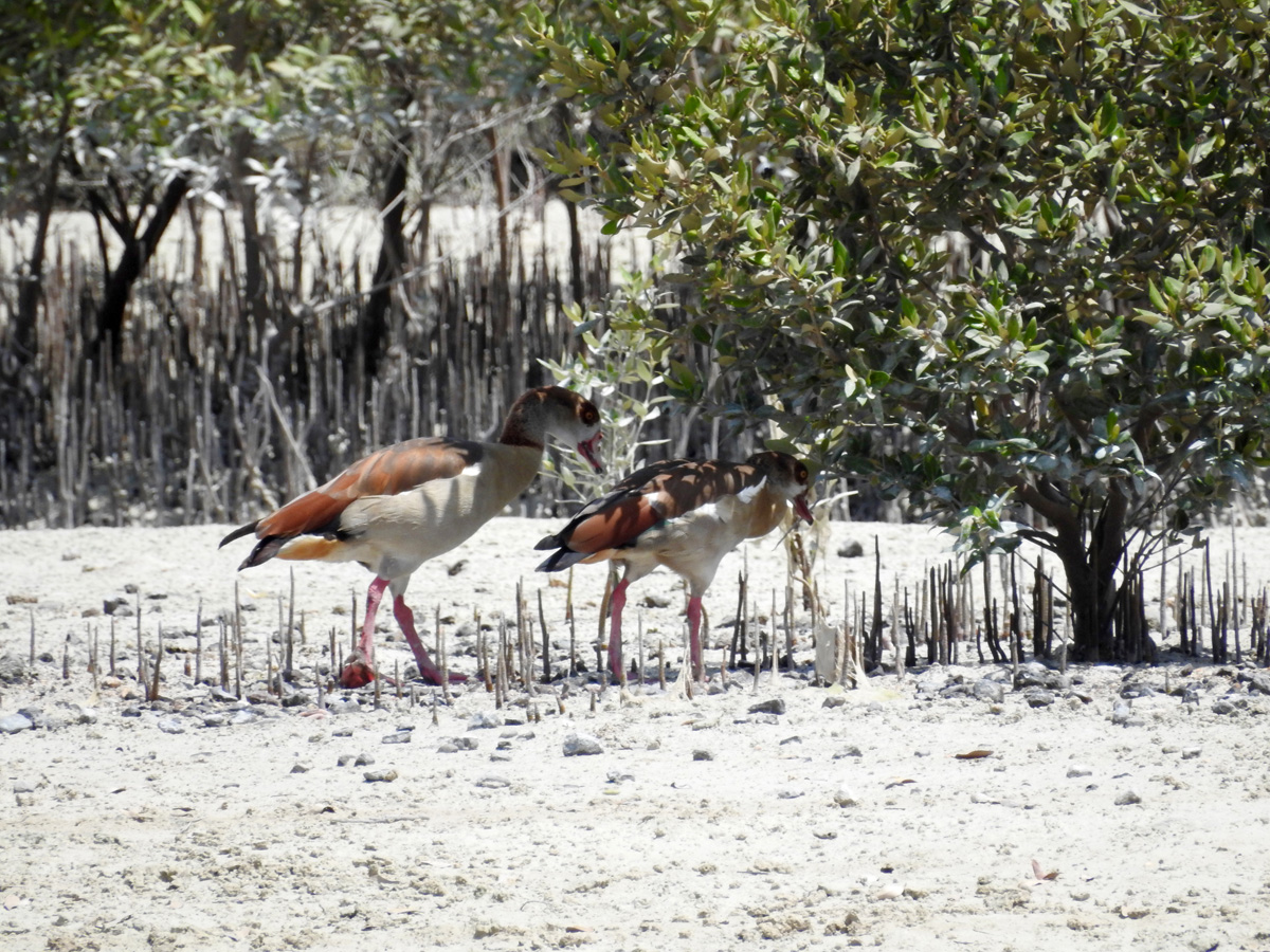 Blog 9-2-15 Egyptian Goose