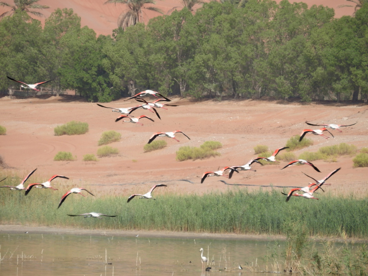 Blog 9-2-15 Flamingos in Flight