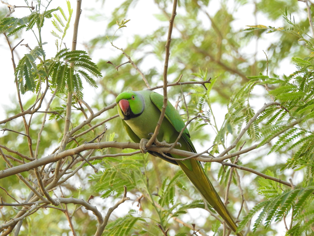 Blog 9-2-15 Rose-ringed Parakeet