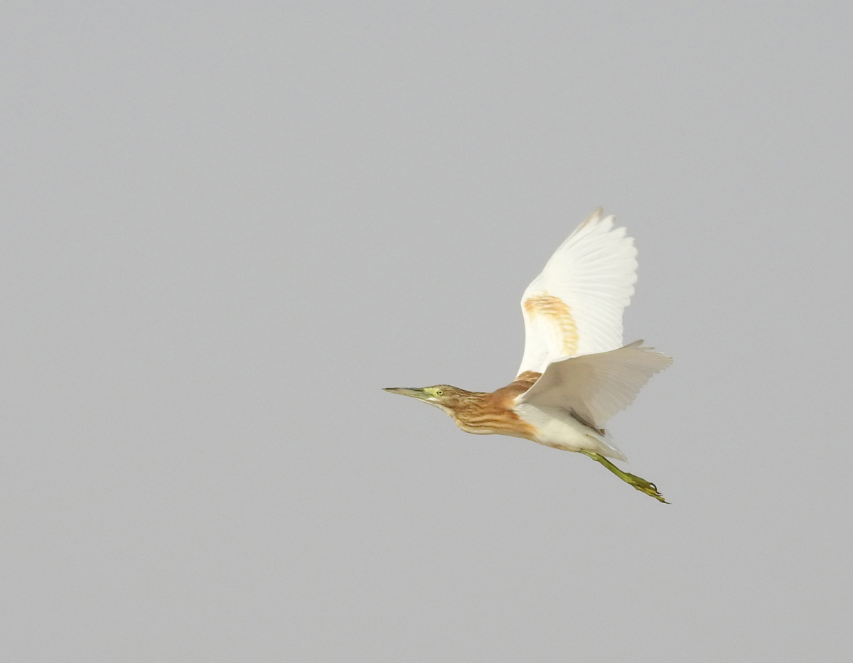 Blog 9-2-15 Squacco Heron