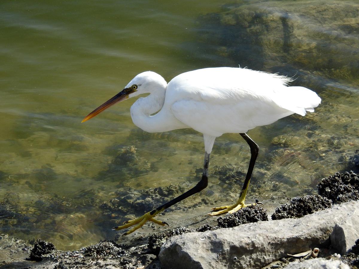 Blog 9-2-15 Western Reef Heron
