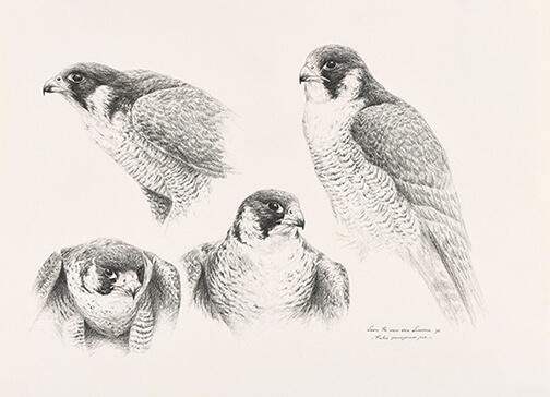 Leon vander Linden, Peregrine Falcon, 1992